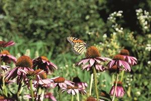 Medium monarch butterfly 566721 1920