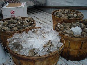 Medium oyster 20festival 203