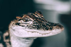 Medium baby alligator closeup macro