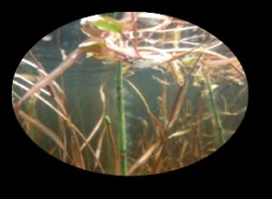 Medium aquatic 20vegetation