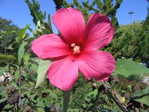 Medium hibiscus 20moy 20grande