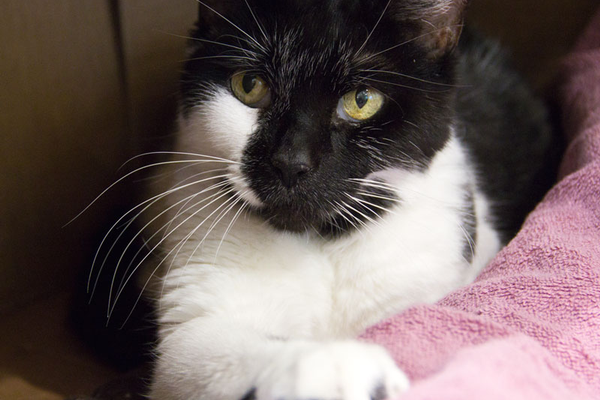 Patches – at 16 years old she has been at the MSPCA longer than any other cat.  She is now cured of the hyperthyroidism that was the reason for her surrender and she needs an understanding adopter willing to open their home to a cat who just wants to enjoy her golden years on a lap or napping in the sunlight