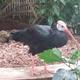 A Southern Bald Ibis