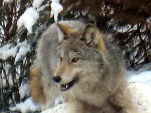 Medium wolf tuckerlake fransmith.preview