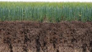Medium barley 1766820