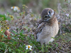 Burrowing Owl Festival - start Feb 24 2018 1000AM