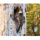 Babcock/Webb is home to the federally endangered redcockaded woodpecker. Photo by William R. Cox.