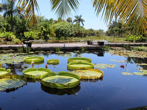 Water lilies float in the heart of Naples Botanical Garden Photo courtesy of Naples Botanical Garden
