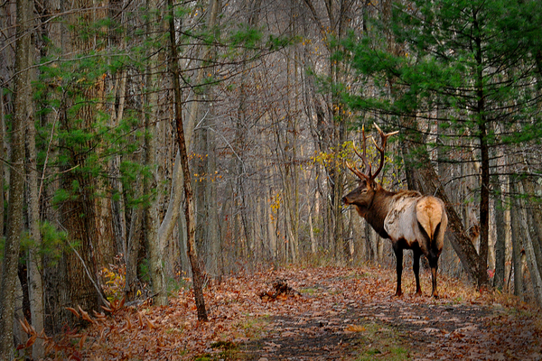Elk on Quehanna Trail. Bil Bowden.