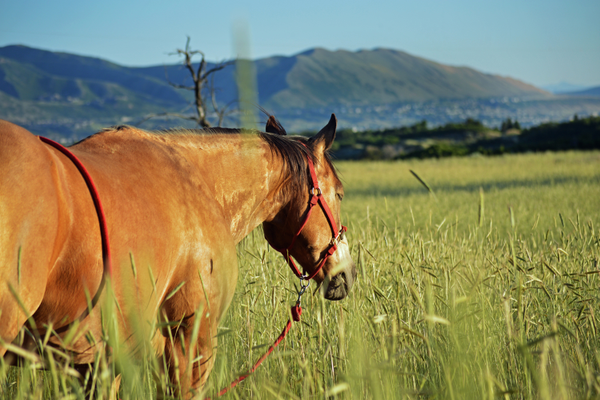 Zoltanski's horse, Mr. Biscuit, grazes near the Poulsen house, which has a great view of the valley. (Justin Adams | Sandy City Journal)