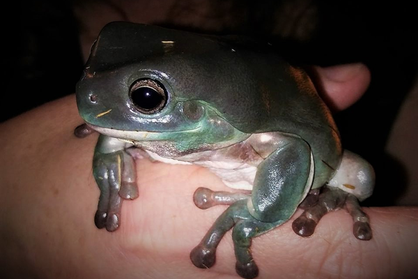 A rescued Dumpy Tree Frog at It's An Animal Thing Reptile Rescue, photo courtesy of Lance Cheuvront.