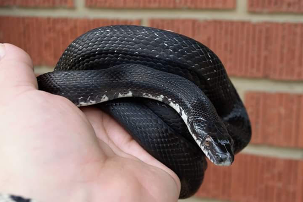 Frank, a rescued black rate snake at It's An Animal Thing Reptile Rescue, photo courtesy of Lance Cheuvront.
