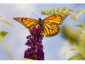 Our Natural World Monarch Mania
