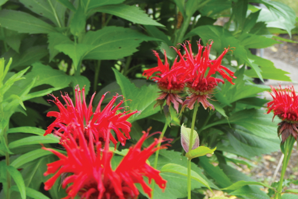 Monarda Jacob Cline, an edible flower