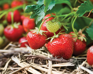 Strawberries fight breast cervical cancers