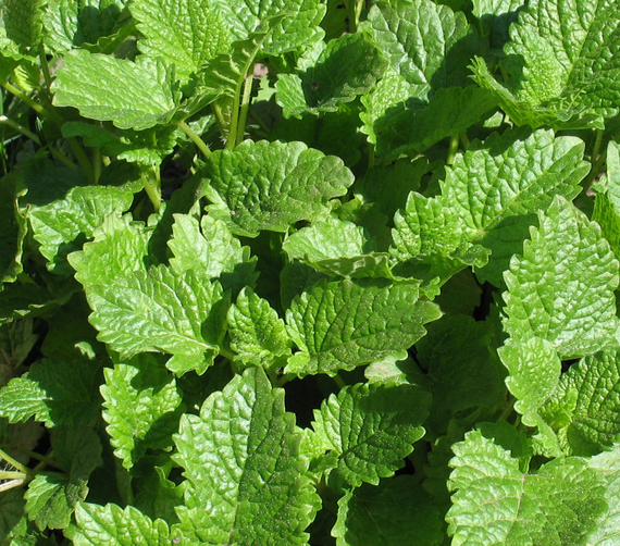 Lemonbalm crop