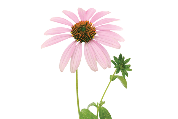 Echinacea extract reduces anxiety