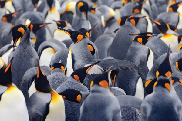 Crowded group of penguins