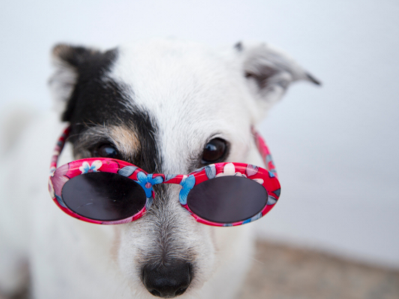 Laughing Matters stock photo of dog wearing sunglasses