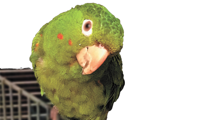23-year-old white-eyed conure pet bird